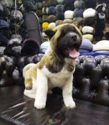 Akito puppy for sale