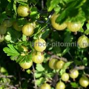 Gooseberry seedlings wholesale and retail from a nursery in the Moscow region