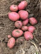 Качественный картофель продовольственный, семенной