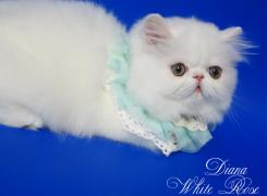 Persian kitten white color Diana