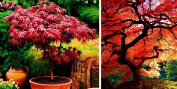 Продаются саженцы редких деревьев и кустарников