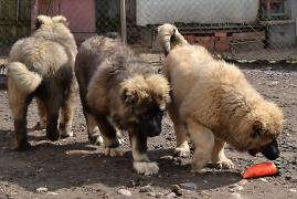 Puppies of the Caucasian shepherd