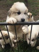 Щенки пиренейской горной собаки