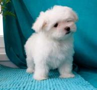 Sell: puppy maltese in St. Petersburg