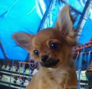Selling: an ocean of desires. Chihuahua in Samara