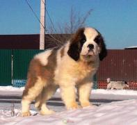 St. Bernard puppies (we will arrange delivery)